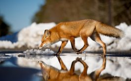 Fox_in_snow_1920x1080