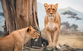 african_lioness-wide
