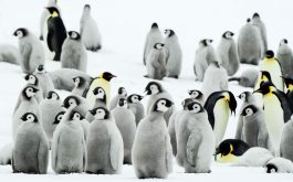 antarctica_penguins-wide