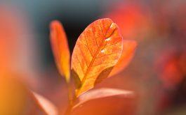 autumn_orange_leaves-wide