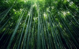 bamboo_forest-wide