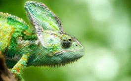 chameleon_forest-wide