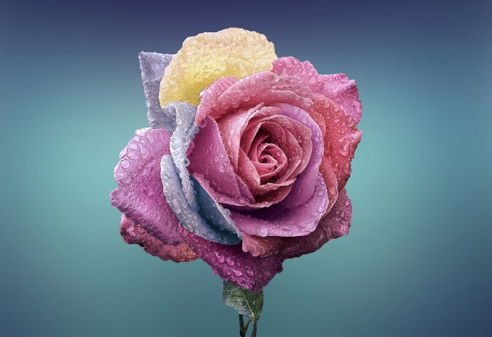 colorful_rose-wide