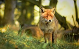 fox-forest-edge-grass-1920x1200