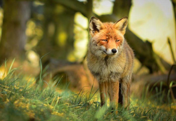 fox-forest-edge-grass-1920x1200