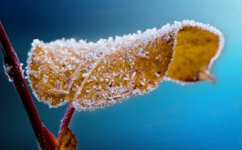 frosted_leaf-HD