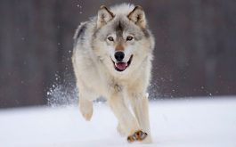 gray_wolf_minnesota-wide