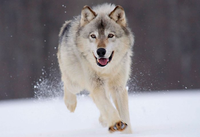 gray_wolf_minnesota-wide