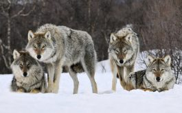 gray_wolves_norway-wide