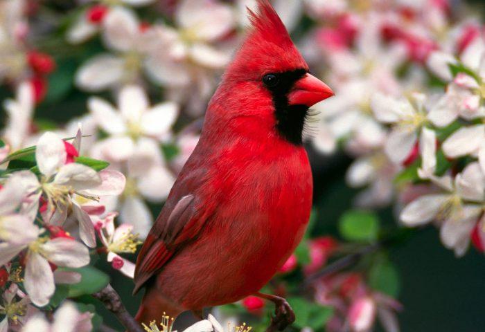 northern_cardinal-normal
