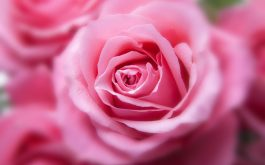pink_color_rose-wide