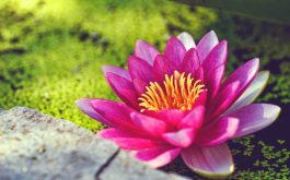 pink_water_lily_flower-wide