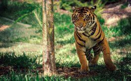 savanna_tiger_wildlife-wide