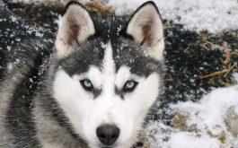 siberian_wolf-wide