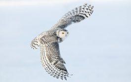 snowy_owl_2-wide