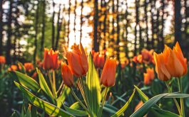 tulips_orange-HD