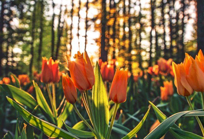 tulips_orange-HD