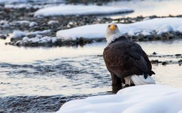 bald_eagle_bird_predator_snow-1920x1080