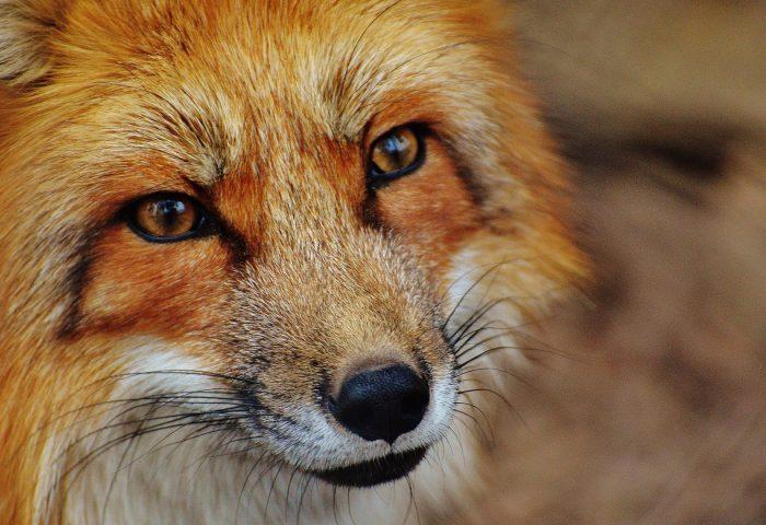fox_snout_predator_look-1920x1080