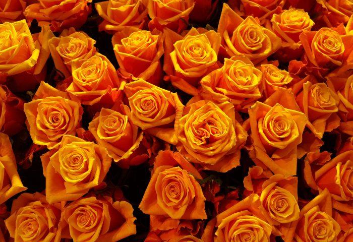 roses_buds_petals-1920x1080