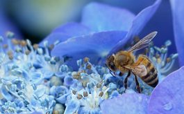 bee_hydrangea_flower_pollination-1920x1080