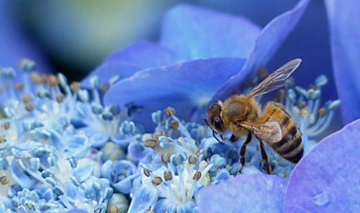bee_hydrangea_flower_pollination-1920x1080