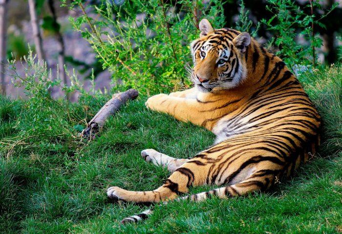bengal_tigers_grass_predator-1920x1080