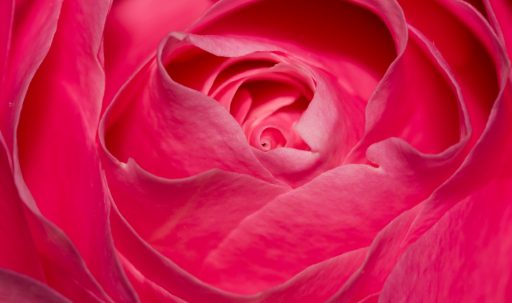 perfect_pink_rose-1920x1080