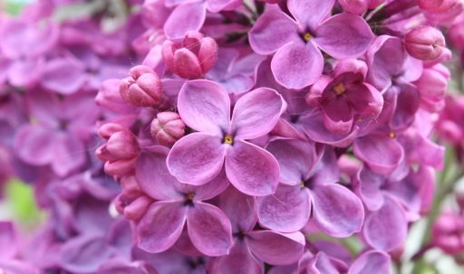 purple_lilac_flowers-1920x1080