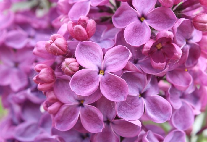 purple_lilac_flowers-1920x1080