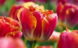 tulip_flowers-1920x1080