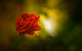 beautiful_rose-1920x1080