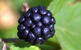 blackberry_berry_close-1920x1080
