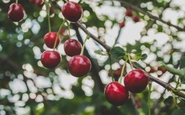 cherry_branch_berries_ripe-1920x1080