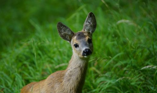 deer_muzzle_young_grass-1920x1080
