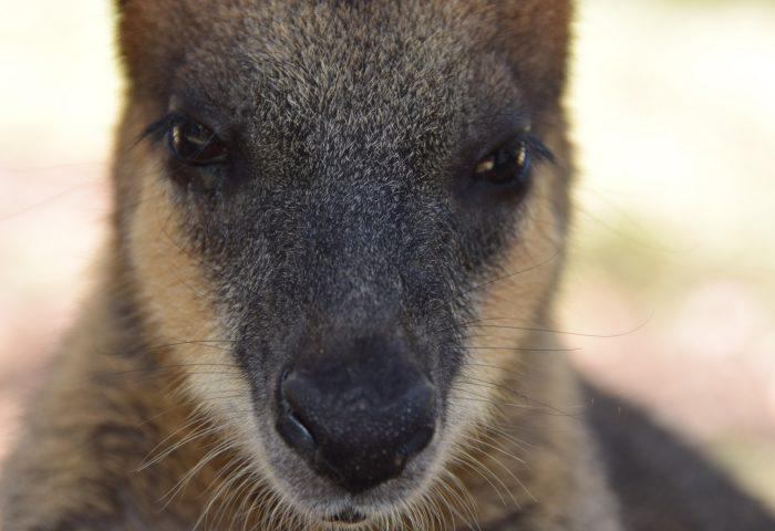kangaroo_muzzle_nose_eyes-1920x1080