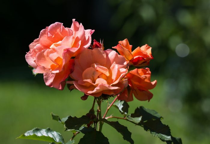 roses_flowers_buds_stems-1920x1080