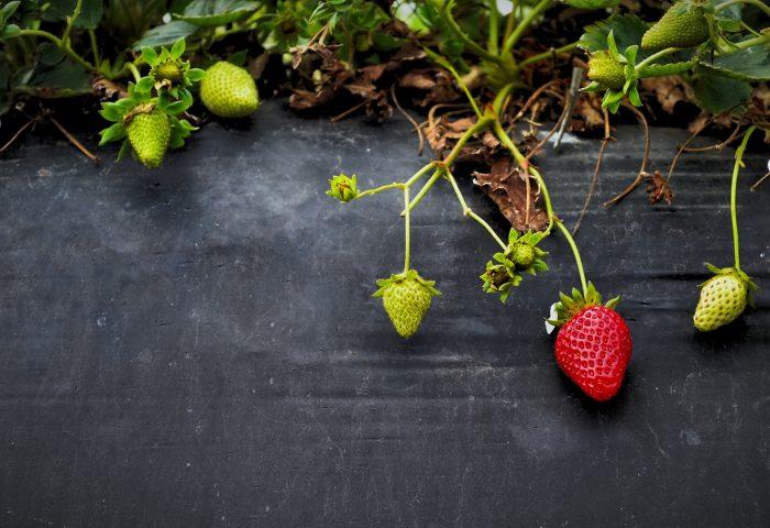 strawberries_flowers_berries-1920x1080