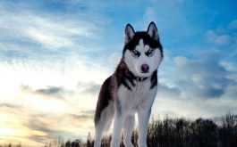dog_husky_look_spotted_muzzle-1920x1080