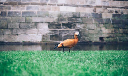 duck_grass_bird_wall-1920x1080