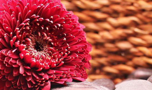 gerbera_flower_bud_petals-1920x1080