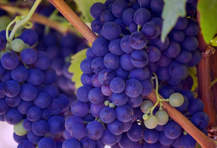 grapes_vines_twigs_berry_ripe-1920x1080