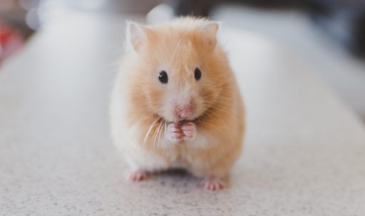 hamster_rodent_cute-1920x1080