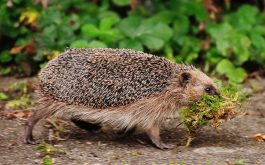 hedgehog_moss_walk_tho-1920x1080