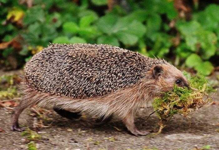 hedgehog_moss_walk_tho-1920x1080