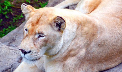lioness_predator_muzzle-1920x1080