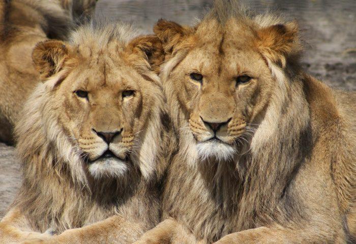lions_couple_predators-1920x1080