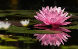 lotus_flower_water_lilies_swamp-1920x1080