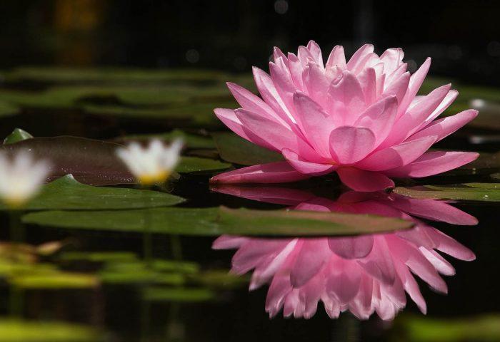 lotus_flower_water_lilies_swamp-1920x1080