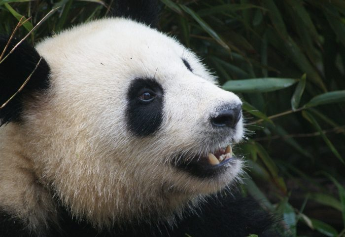 panda_bear_muzzle-1920x1080